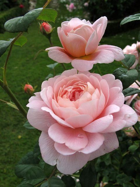 queen of sweden rose flickr