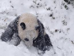 Giant Panda Bao Bao plays in the snow at the National Zoo