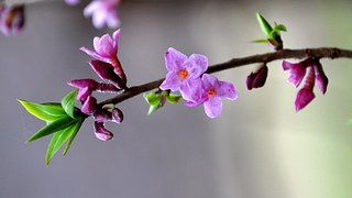 blossoms two